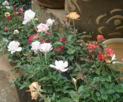 玫瑰苗批发,云南玫瑰种苗