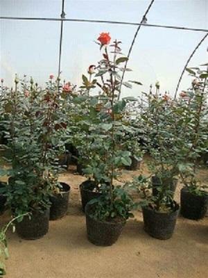 昆明玫瑰种苗,云南玫瑰苗