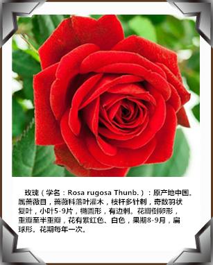 玫瑰花系列